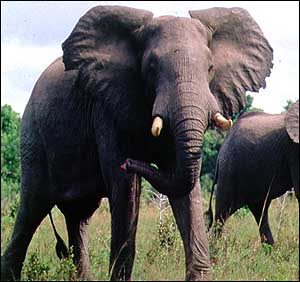 image: [ Elephants can hear subsonic sound from as far away as 50km ]