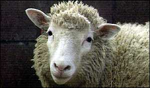image: [ Dolly, the first cloned sheep, now has two companions ]
