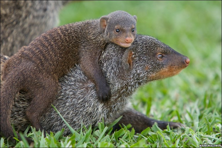 BBC - Earth News - In pictures: Banded mongooses are a band of brothers